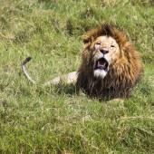 Fotografia Grande leone Mostra i suoi denti pericolosi nel Masai Mara, Kenya.