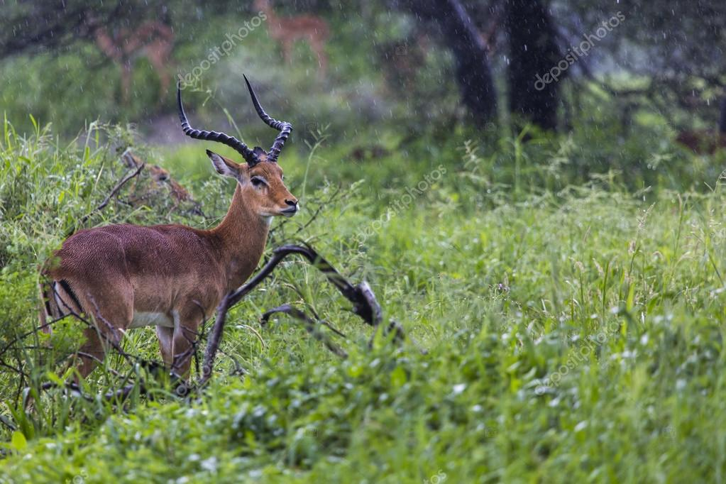 A portrait of a beautiful male impala ram.Tarangire National Par