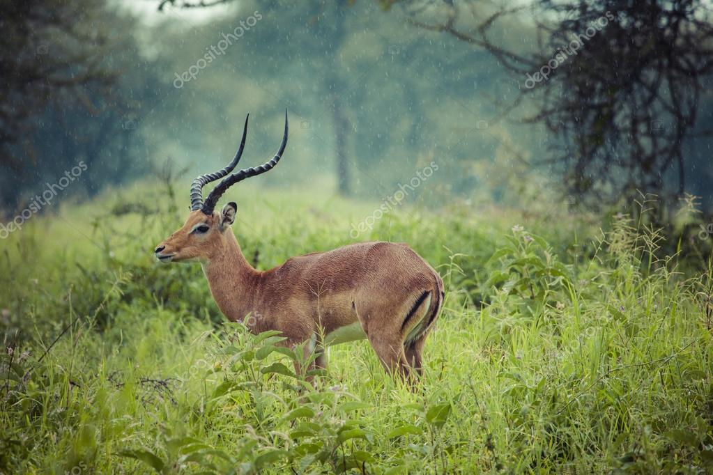 A portrait of a beautiful male impala ram.Tarangire National Par