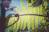 Fotografia snodamento closeup di fronde di felce, uno dei simboli della Nuova Zelanda