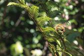 snodamento closeup di fronde di felce, uno dei simboli della Nuova Zelanda.