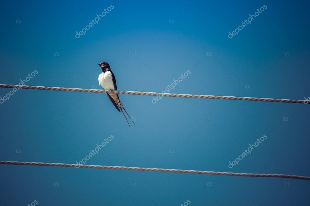 Barn Swallow perched on a page wire fence. — Stock Photo ...