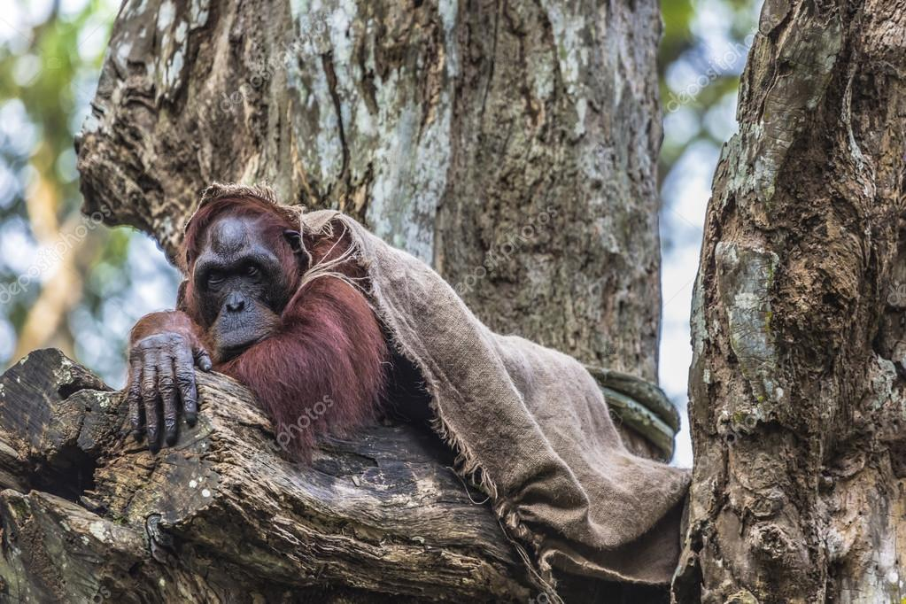 The adult male of the Orangutan in the wild nature. Island Borne