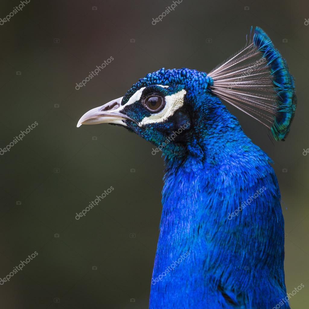 Head of beautiful male peacock