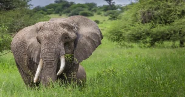 Afrikai elefánt, a Tarangire Nemzeti Park, Tanzánia