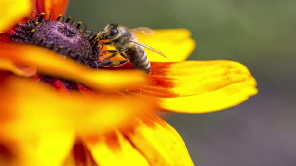 Detail fotografie Western Honey Bee