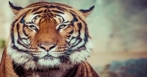 a tigrisek arc részlete.