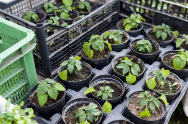 Plant seedlings