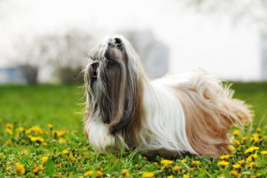 dog breed Shi tzu running