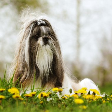 dog breed Shi tzu sitting on the grass