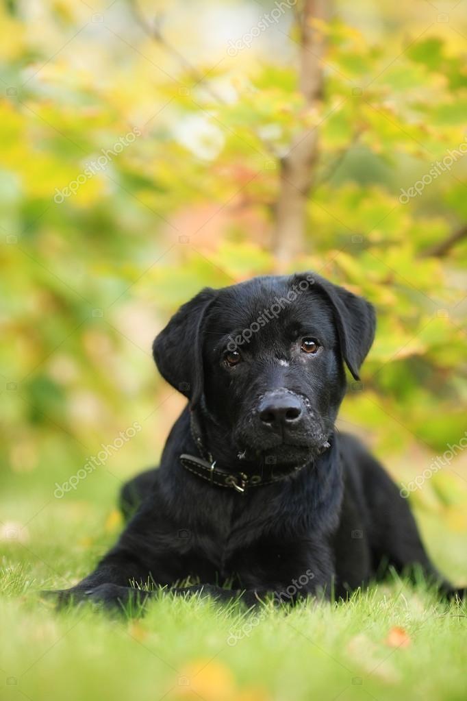 Beautiful Purebred Black Labrador Puppy Stock Photo Garosha