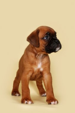 Purebred red boxer puppy standing in the show position