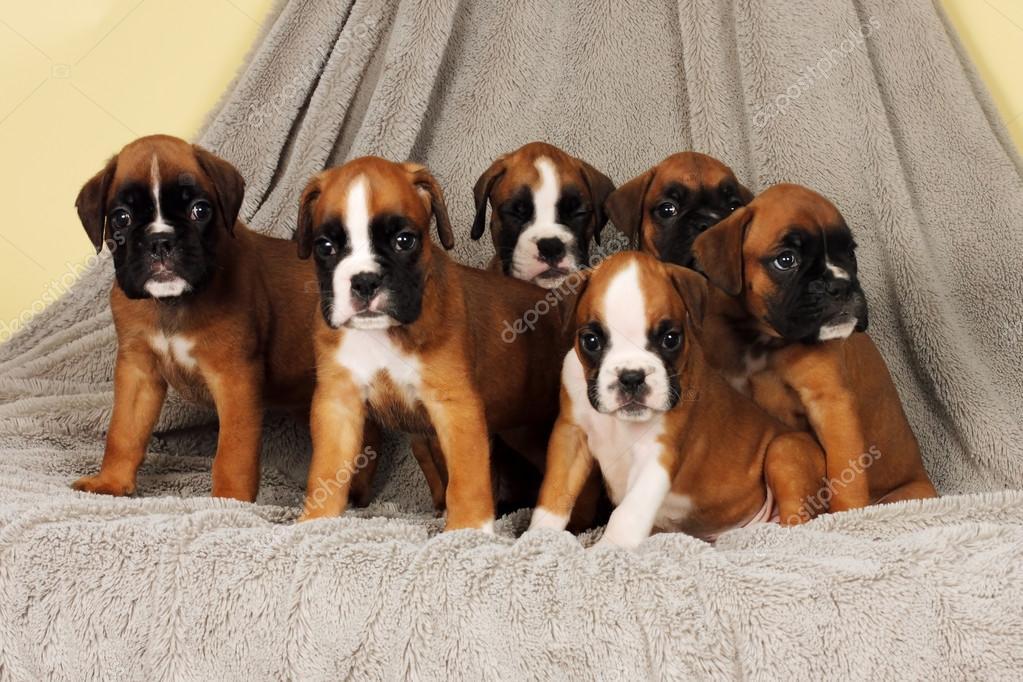 Six Puppies Breed Boxer Sit A Bunch Stock Photo Garosha 110044742