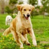 Krásný šťastný pes zlatý retrívr pobíhat a hrát