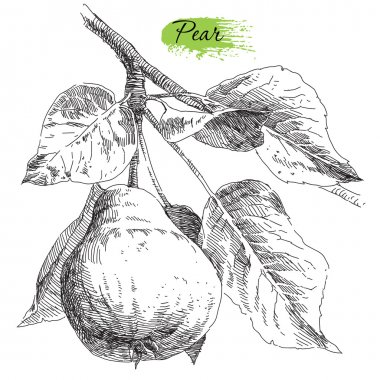 Hand drawing pears on pear tree branch
