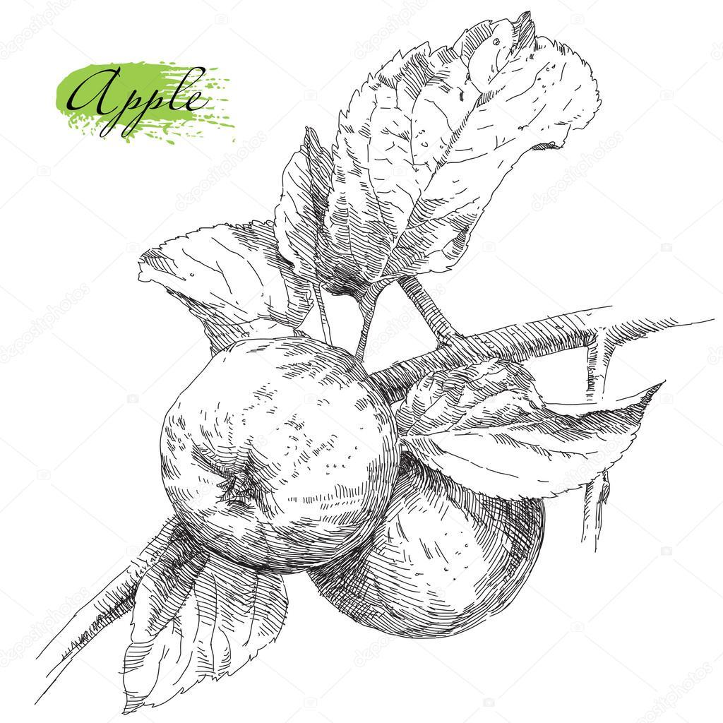 Rucni Kresba Apple Na Vetev Stromu Jablko Stock Vektor