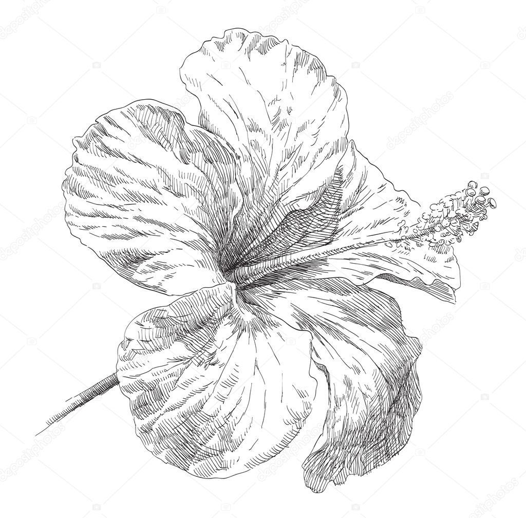 Hand drawn hibiscus flower blossom stock vector irinakatunina beauty hand drawn illustration with flowers vector by irinakatunina izmirmasajfo
