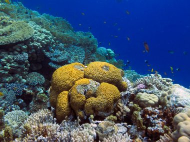 Living corals of the Red Sea