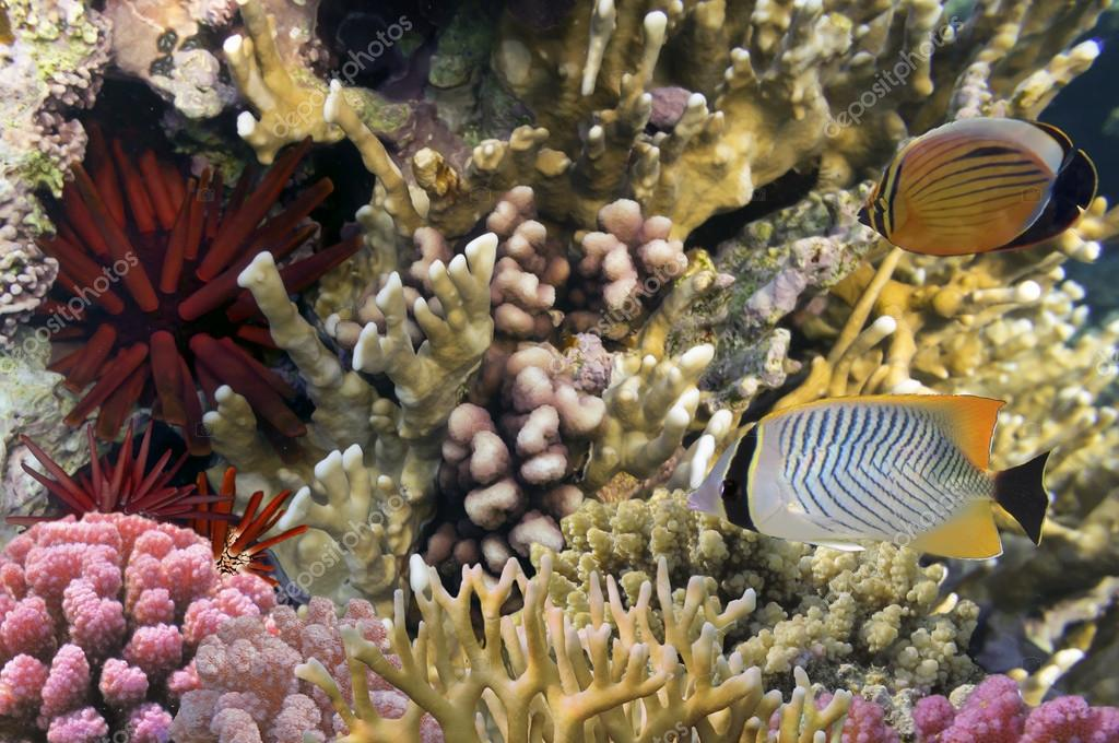 Coral reef with exotic fishes and Red Sea Urchin