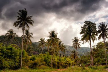 coconut trees before the storm