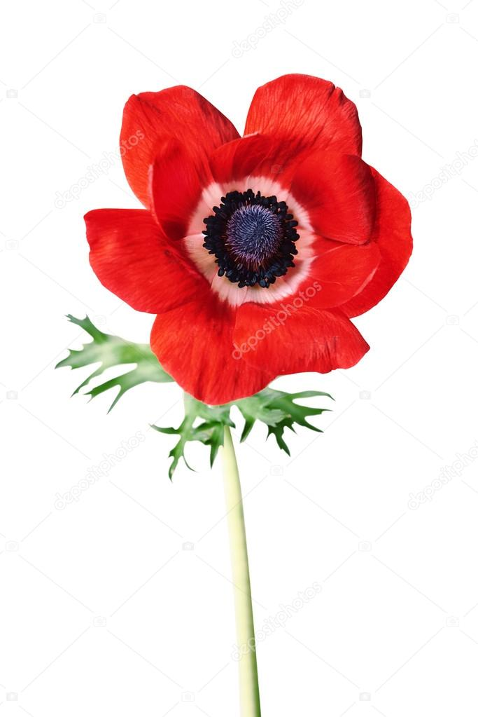 Red anemone flower — Stock Photo