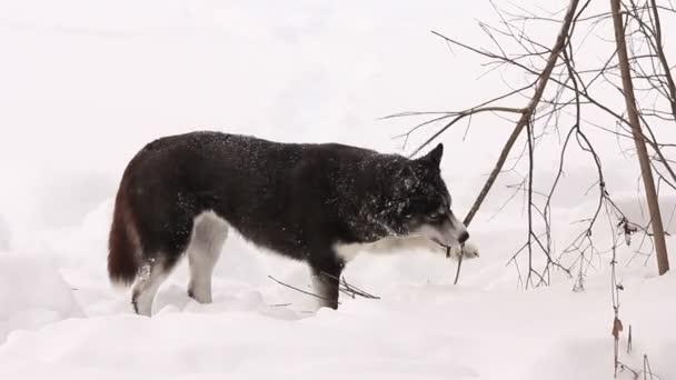 Husky nagt im Winter an einem Baum