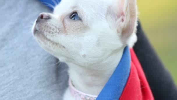 Chihuahua kölyök