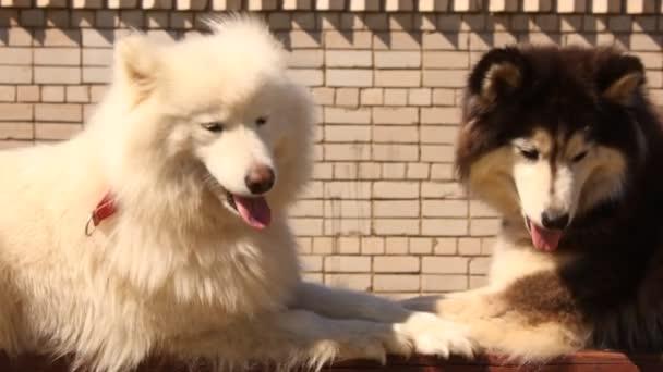 Husky and Samoyed dogs