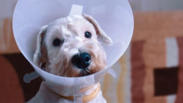 Smutný pes sedí nemocných s plastovým límcem vet