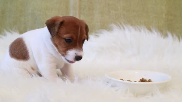 Puppy jack russell terrier eating