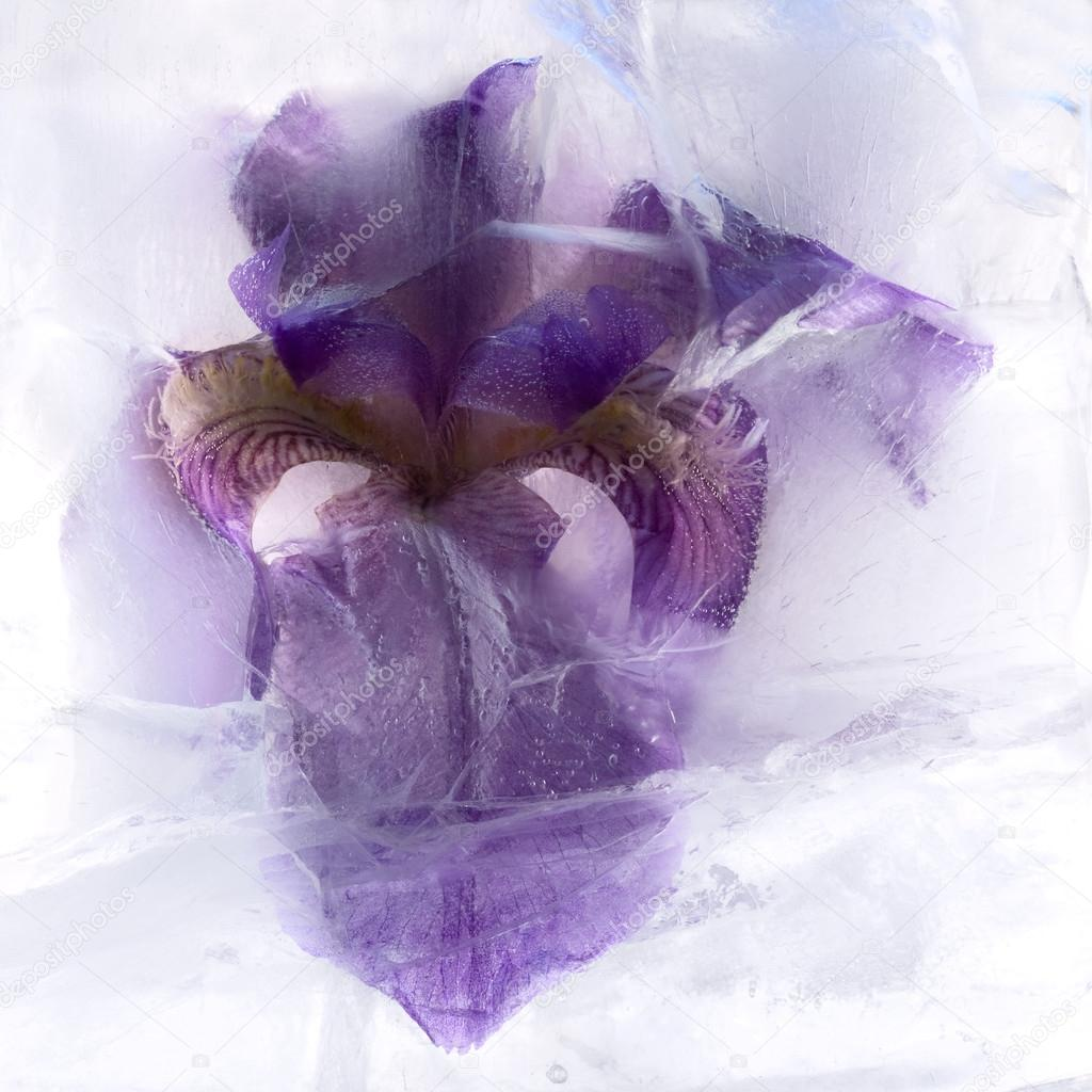 Frozen flower of iris stock photo foryouinf 71962609 frozen flower of iris stock photo izmirmasajfo