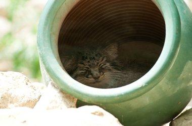Manul pallas cat sleep in vase