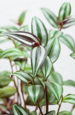 Tradescantia, plant with strepps, gossip, tittle-tattle