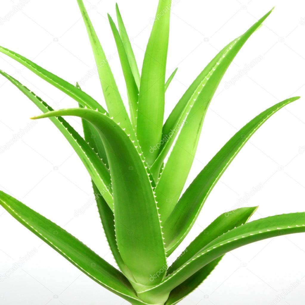 Aloe vera planta aislado en blanco foto de stock nenovbrothers 115081650 - Planta de aloe vera precio ...
