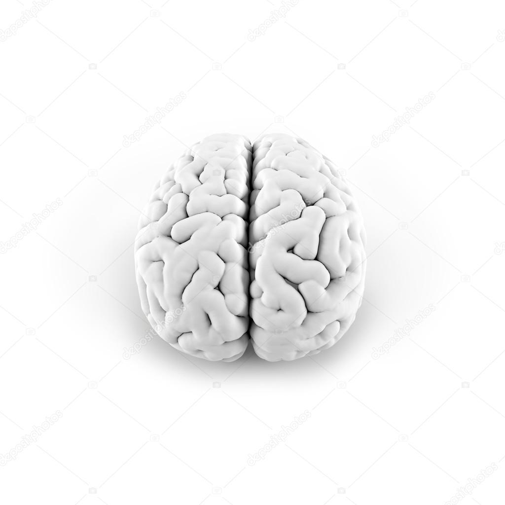 Ungewöhnlich Gehirn Anatomie 3d Modell Galerie - Anatomie Ideen ...