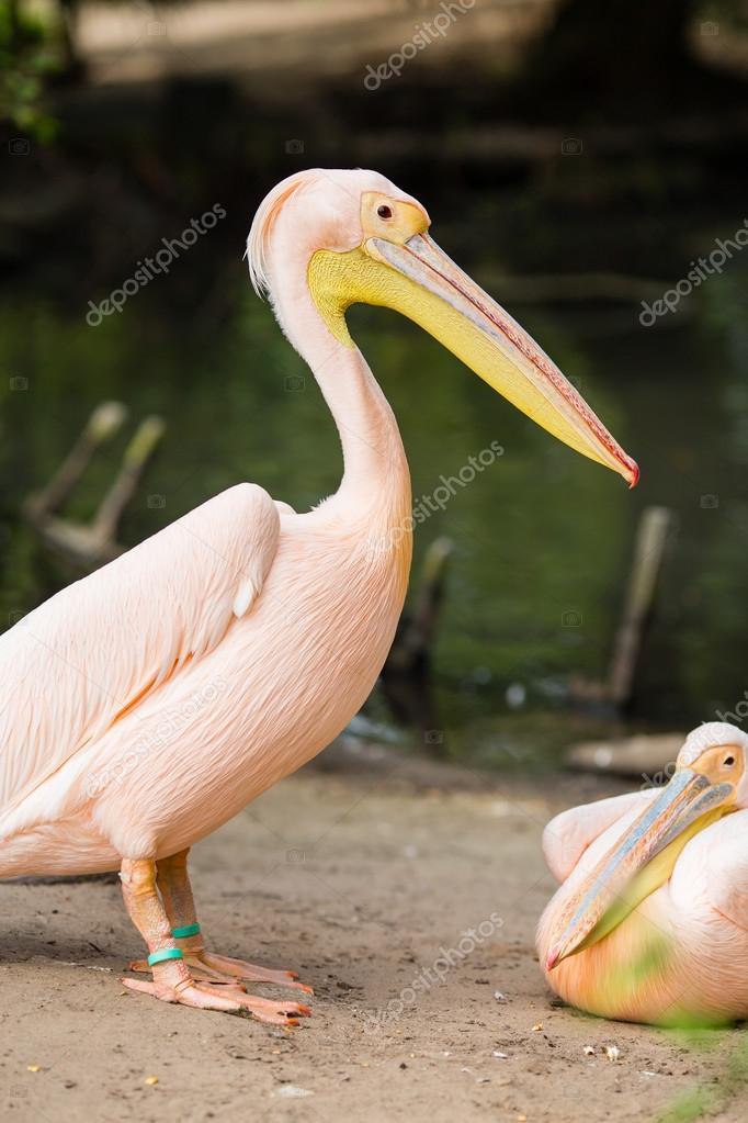 μεγάλο πουλί για
