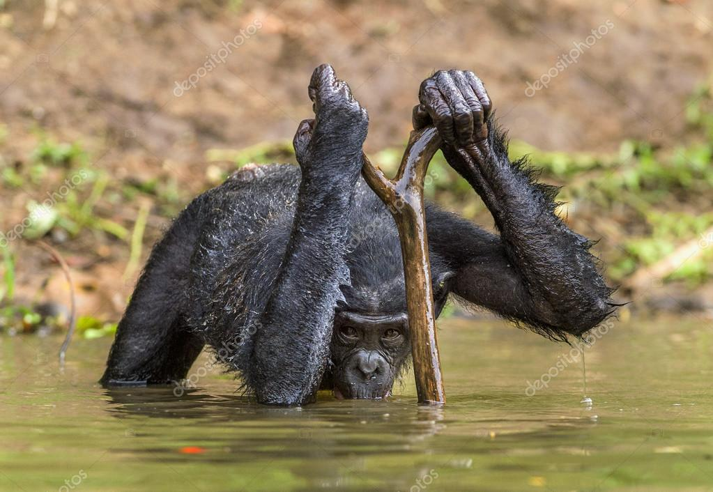 Bonobo drinking water.