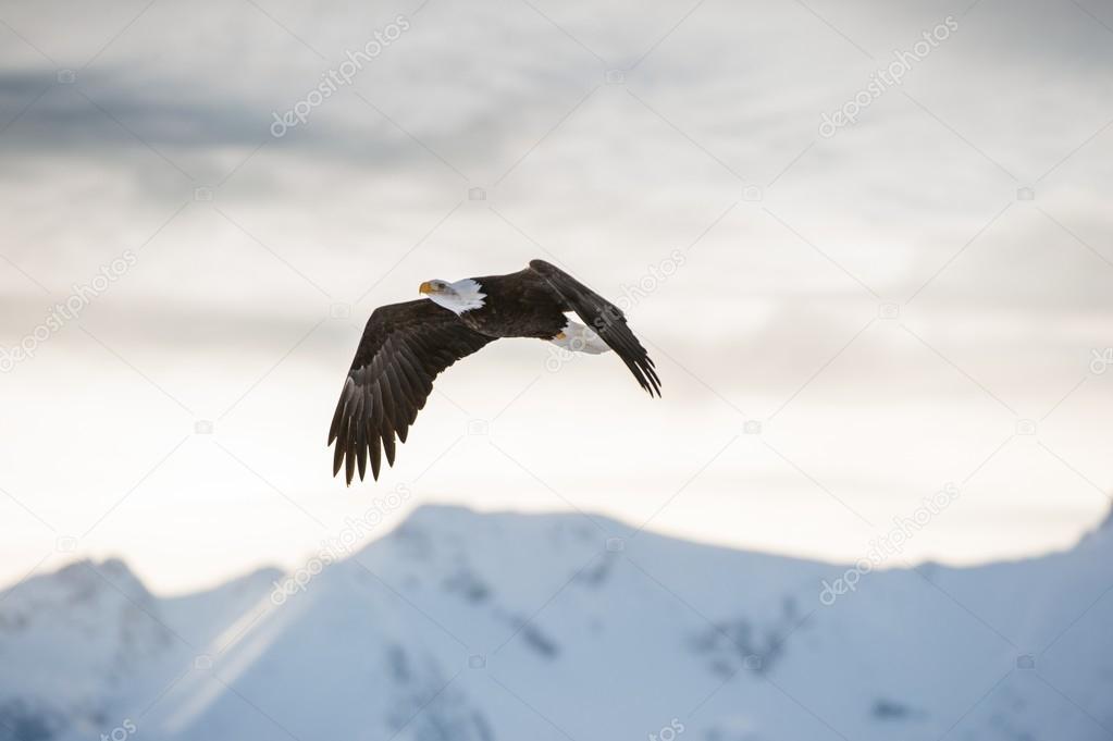 Águila calva — Foto de stock © SURZet #109208296