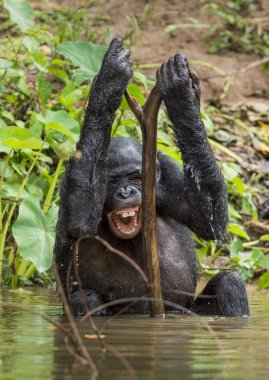 The chimpanzee Bonobo bathes