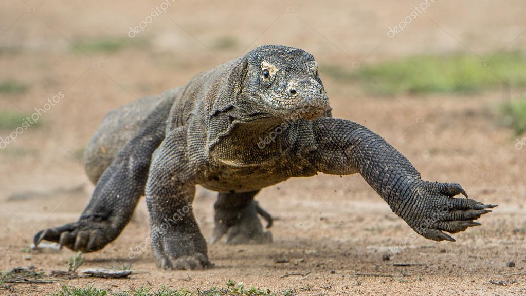 Attack of a Komodo dragon.