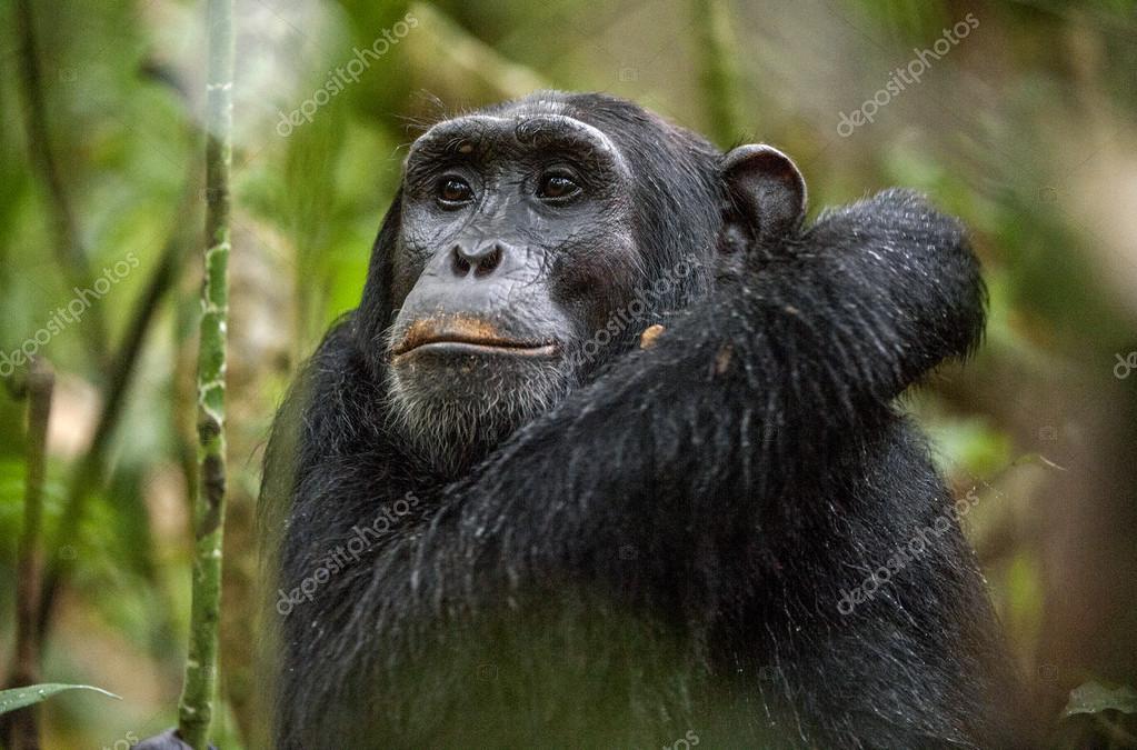 Close up portrait of chimpanzee