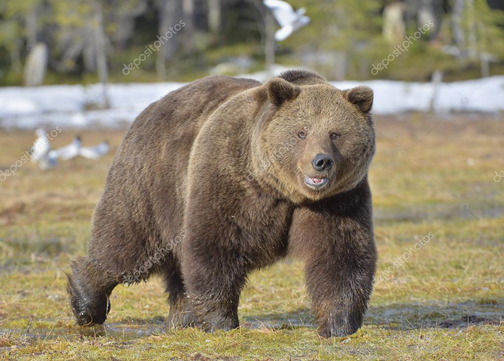 Фотообои Brown Bear (Ursus arctos)