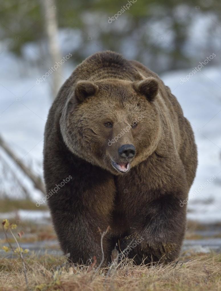 Фотообои  Male of Brown Bear