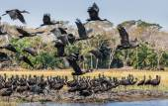 The African openbills (Anastomus lamelligerus)
