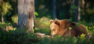 Brown Bear in wildlife