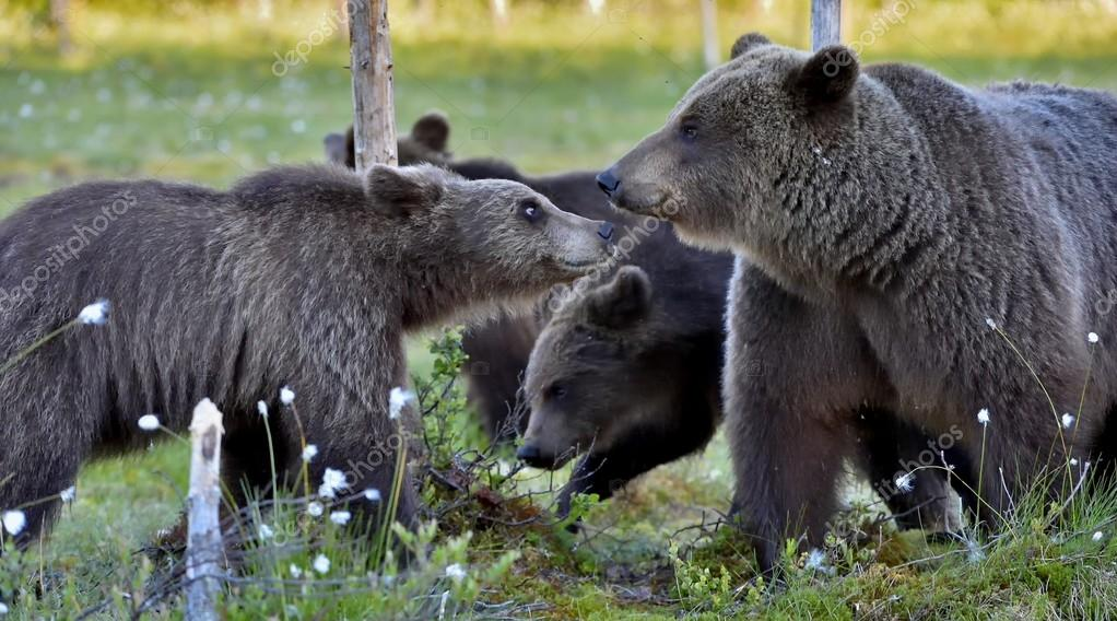 Female of Brown Bear with cubs