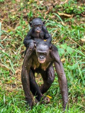 Bonobo Cub on brachiums at mother