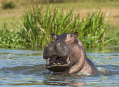 Photo Yawning common hippopotamus in water