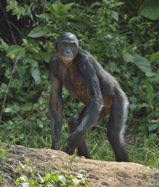 """Картина, постер, плакат, фотообои """"шимпанзе бонобо на зеленом фоне """", артикул 124210542"""