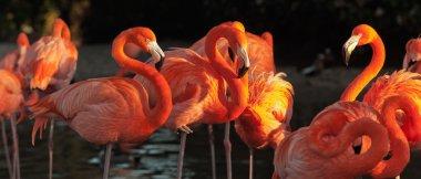 Carribean flamingos over beautiful sunset